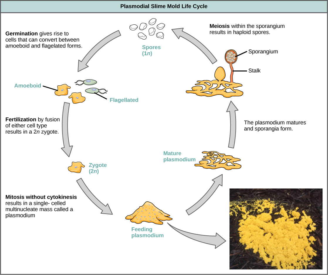 Illustration shows the plasmodium slime mold life cycle, which begins when 1n spores germinate, giving rise to cells that can convert between amoeboid and flagellated forms. Fertilization of either cell type results in a 2n zygote. The zygote undergoes mitosis without cytokinesis, resulting in a single-celled, multinucleate mass visible to the naked eye. A photo inset shows that the plasmodium is bright yellow and looks like vomit. As the plasmodium matures, holes form in the center of the mass. Stalks with bulb-shaped sporangia at the top grow up from the mass. Spores are released when the sporangia burst open, completing the cycle.