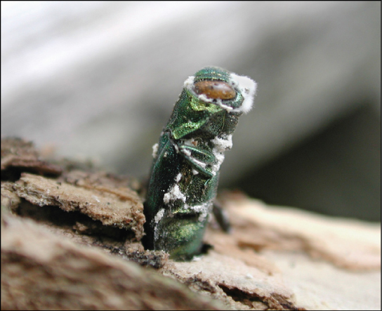 Photo shows a green, stump-shaped ash borer jutting from the bark of a tree.