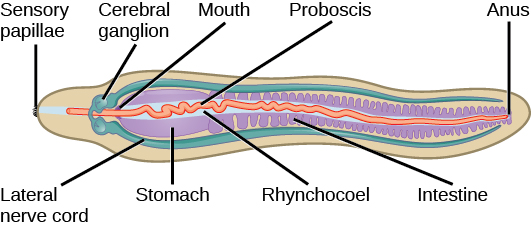The illustration shows worm-shaped animal with fringe-like sensory papillae at one end. The mouth, which is part way down the body, leads to a stomach and intestine, then empties into an anus at the far end. The cerebral ganglia are located above the mouth. Lateral nerve cords run down either side of the animal from the central ganglia. The proboscis is a long, thin structure inside a cavity called the rhynchocoel.