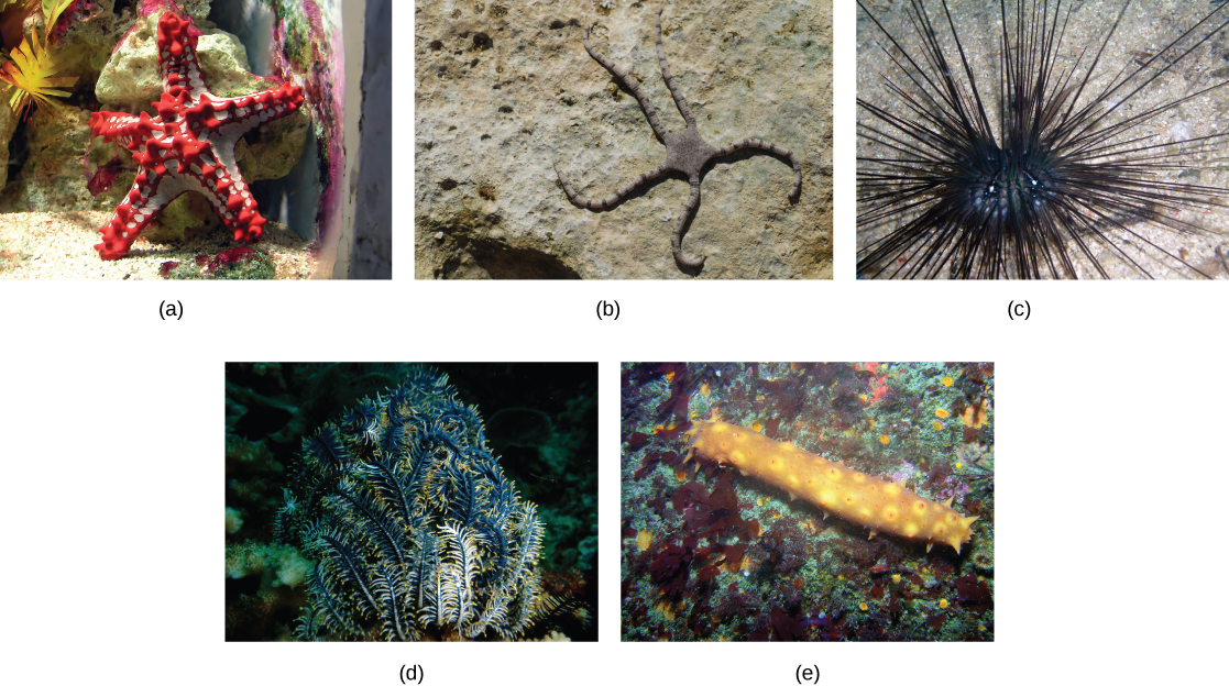 The sea star in photo a is red and white, with a thick squat body and protruding spikes. The brittle star in part b is brown with a flat, pentagon-shaped body. Thin striped legs extend from each point of the pentagon. Photo c shows a sea urchin with a round, black body and very long, thin, black spines. Photo d shows a sea lily that has appendages resembling branches of a spruce tree. Photo e shows a log-shaped sea cucumber with spikes extending from its body.