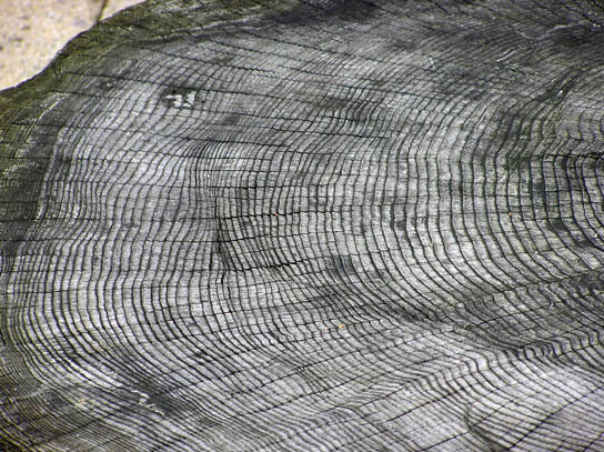 Photo shows a cross section of a large tree trunk with many rings projecting outward from the center.