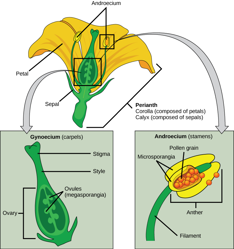 Illustration shows parts of a flower, which is called the perianth. The corolla is composed of petals, and the calyx is composed of sepals. At the center of the perianth is a vase-like structure called the carpel. A flower may have one or more carpels, but the example shown has only one. The narrow neck of the carpel, called the style, widens into a flat stigma at the top. The ovary is the wide part of the carpel. Ovules, or megasporangia, are clusters of pods in the middle of the ovary. The androecium is composed of stamens which cluster around the carpel. The stamen consists a long, stalk-like filament with an anther at the end. The anther shown is tri-lobed. Each lobe,  called a microsporangium, is filled with pollen.