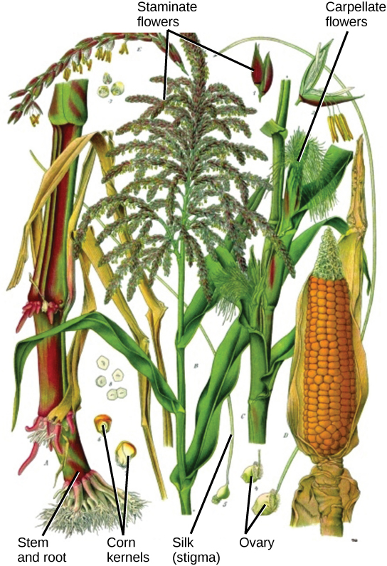 Illustration shows parts of a corn plant. Pistillate flowers are tiny flowers that cluster in strands to form the tassel at the top of the plant. Pollen grains are small, teardrop-shaped structures. Carpellate flowers are clustered in the immature ear, which is covered by leaves. Silk protrudes from the tops of the leaves covering the flower. In the mature ear, the kernels form where the carpellate flowers were located.