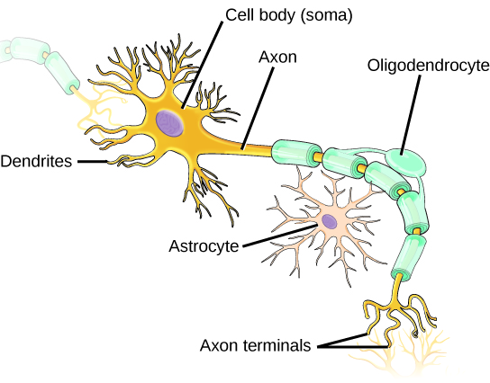 Illustration shows a neuron which has an oval cell body. Branchlike dentrites extend from three sides of the body. A long, thin axon extends from the fourth side. At the end of the axon are branchlike terminals. A cell called an oligodendrocyte grows alongside the axon. Projections from the oligodendrocyte wrap around the axon, forming a myelin sheath. Gaps between parts of the sheath are called nodes of Ranvier. Another cell called an astrocyte sits alongside the axon.