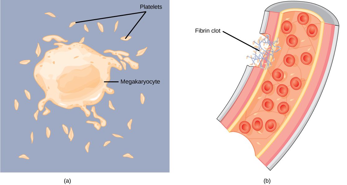Part A shows a large, somewhat irregularly shaped cell called a megakaryocyte shedding small, oblong platelets. Part B shows a fibrin clot plugging a cut in a blood vessel. The clot is made up of platelets and a fibrous material called fibrin.