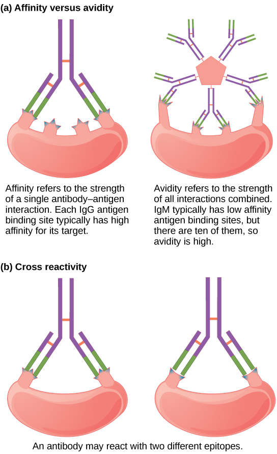 Part A compares affinity and avidity. Affinity refers to the strength of a single antibody–antigen interaction. Each IgG antigen-binding site typically has high affinity for its target. Avidity refers to the strength of all interactions combined, IgM typically has low affinity antigen binding sites, but there are ten of them so avidity is high. Part B describes cross reactivity, a situation in which an antibody reacts with two different epitopes.