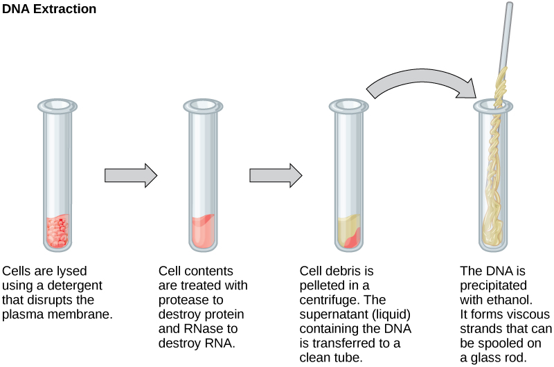 Four test tubes are illustrated, showing four steps in extracting DNA. In the first, cells are lysed using a detergent that disrupts the plasma membrane. In the second, cell contents are treated with protease to destroy protein, and RNase to destroy RNA. In the third, cell debris is pelleted in a centrifuge. The supernatant (liquid) containing the DNA is transferred to a clean tube. In the fourth test tube, the DNA is precipitated with ethanol. It forms viscous strands that can be spooled on a glass rod.