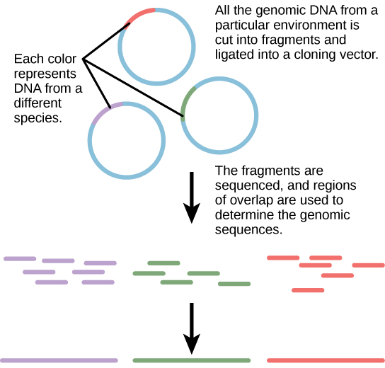 "The diagram shows 3 individual rings representing DNA, with a small portion of each in a contrasting color. The small portions represent DNA from a different species.  The 3 rings have the caption ""All of the genomic DNA from a particular environment is cut into fragments and ligated into a cloning vector. The fragments are sequenced, and regions of overlap are used to determine the genomic sequences."" Below the rings are many pieces of the contrasting color portions only, with an arrow pointing to solid longer lines of the 3 colors."
