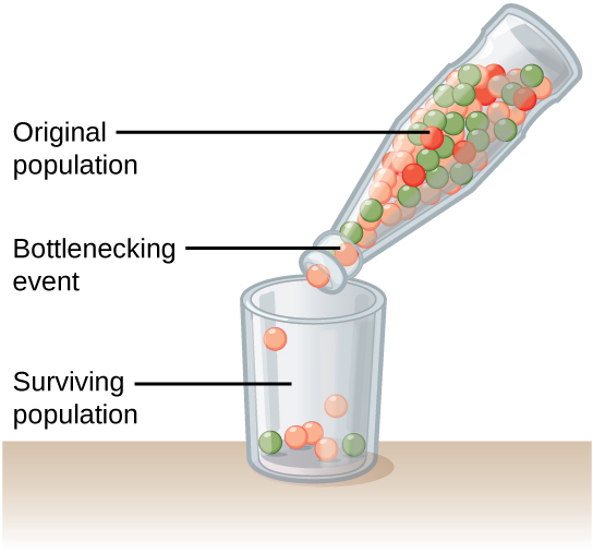 Illustration shows a narrow-neck bottle filled with red, orange, and green marbles tipped so the marbles pour into a glass. Because of the bottleneck, only seven marbles escape, and these are all orange and green. The marbles in the bottle represent the original population, and the marbles in the glass represent the surviving population. Because of the bottleneck effect, the surviving population is less diverse than the original population.