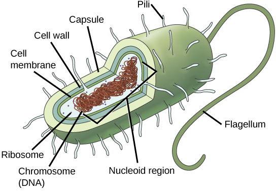 In this illustration, the prokaryotic cell has an oval shape. The circular chromosome is concentrated in a region called the nucleoid. The fluid inside the cell is called the cytoplasm. Ribosomes, depicted as small dots, float in the cytoplasm. The cytoplasm is encased by a plasma membrane, which in turn is encased by a cell wall. A capsule surrounds the cell wall. The bacterium depicted has a flagellum protruding from one narrow end. Pili are small protrusions that project from the capsule in all directions.
