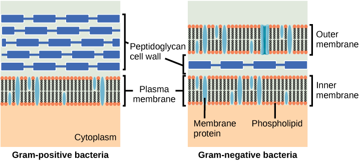 This illustration compares Gram-positive to Gram-negative bacterial cell walls. The Gram-positive image on the left shows, from bottom to top: the cytoplasm, a plasma membrane bilayer with phospholipids and membrane proteins, and a thick cell wall with several layers of peptidoglycans. The Gram-negative image on the right shows, from bottom to top: the cytoplasm, a plasma membrane bilayer with phospholipids and membrane proteins, a thin cell wall with one layer of peptidoglycans, and an outer plasma membrane bilayer.