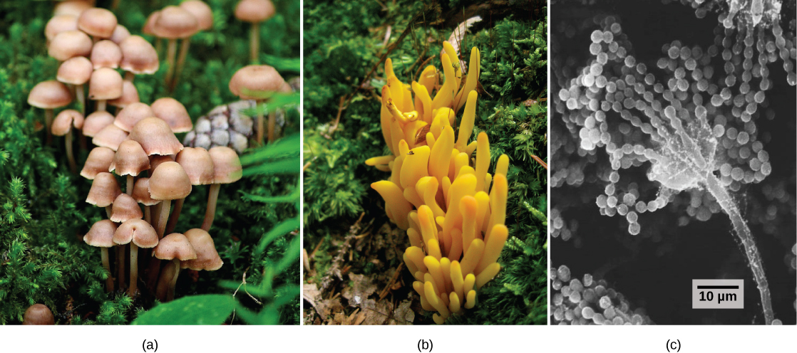 Part a shows a cluster of mushrooms with bell-like domes attached to slender stalks. Part b shows a yellowish-orange fungus that grows in a cluster and is lobe-shaped. Part c is an electron micrograph that shows a long, slender stalk that branches into long chains of spores that look like a string of beads.