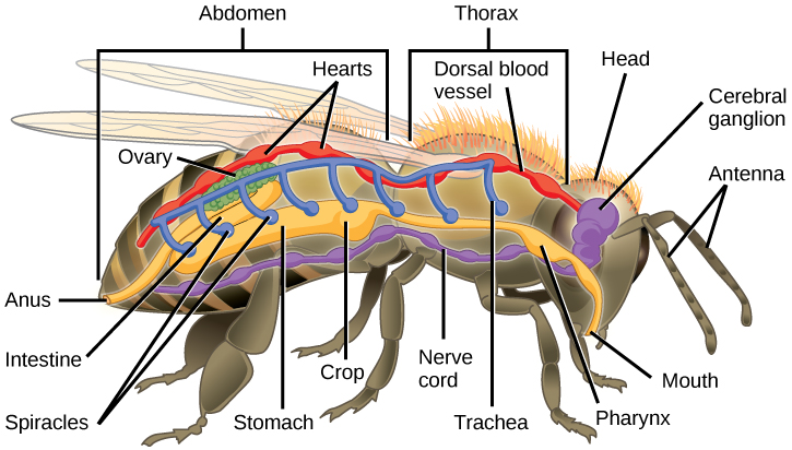 The illustration shows the anatomy of a bee. The digestive system consists of a mouth, pharynx, stomach, intestine, and anus. The respiratory system consists of spiracles, or openings, along the side of the bee's body that connect to tubes that run up and join a larger dorsal tube that connects all the spiracles together. The circulatory system consists of a dorsal blood vessel that has multiple hearts along its length. The nervous system consists of a cerebral ganglion in the head that connects to a ventral nerve cord.
