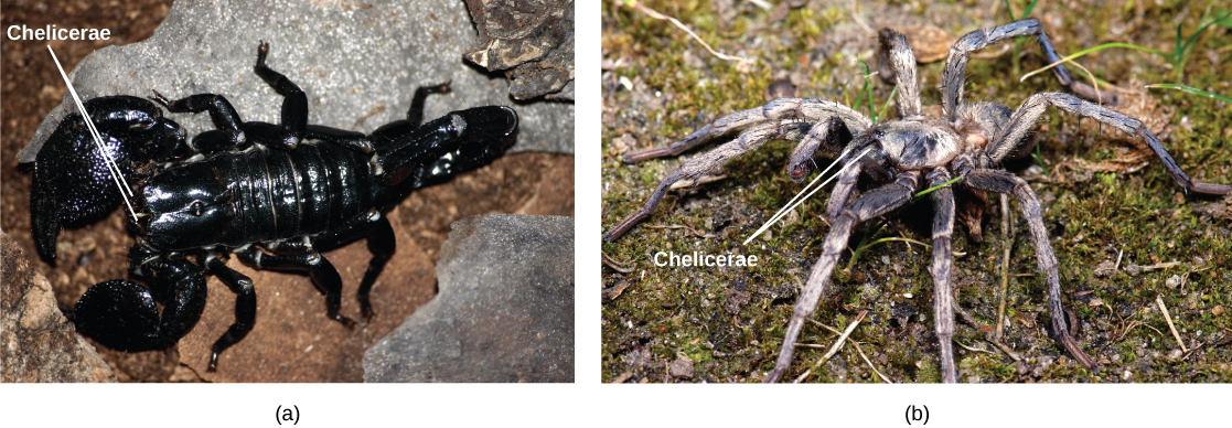 Photo a shows a black, shiny scorpion. Photo b shows a spider with a thick, hairy body and eight long legs.