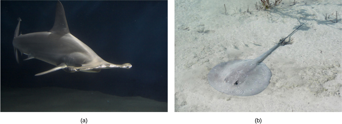 Photo a shows a shark with a wide snout. Photo b shows a stingray with a long, thin body and a circular head, resting on the sandy bottom
