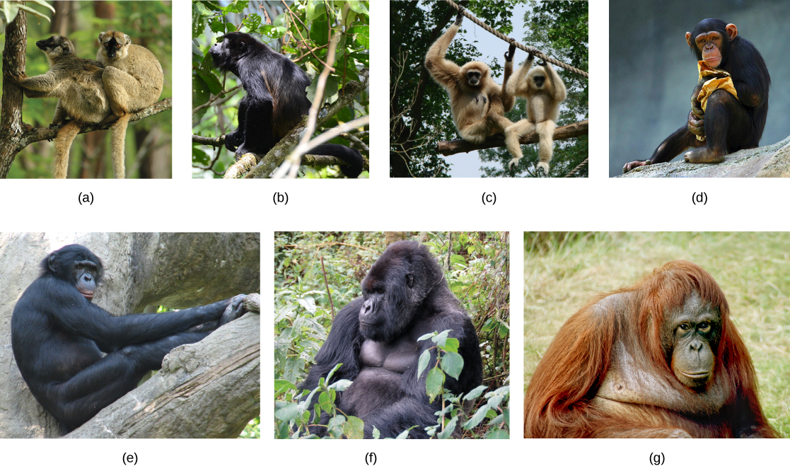 Seven photos of primates include (a) two lemurs on a tree branch; (b) a howler monkey; (c) two gibbons with long arms holding on to a rope above their heads; (d) a chimpanzee; (e) a bonobo; (f) a gorilla, and (g) an orangutan.