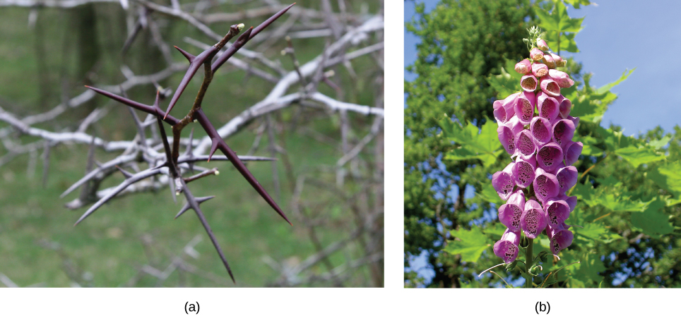 Photo (a) shows the long, sharp thorns of a honey locust tree. Photo (b) shows the pink, bell-shaped flowers of a foxglove.