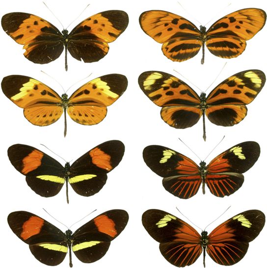 Photos show four pairs of butterflies that are virtually identical to one another in color and banding pattern.