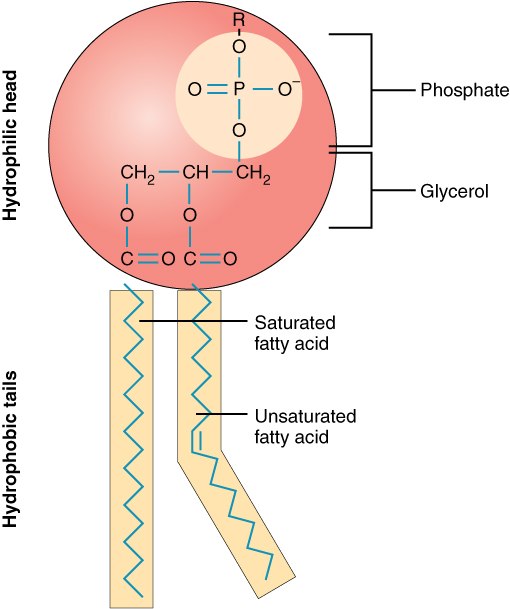 This diagram shows the structure of a phospholipid. The hydrophilic head group is shown as a pink sphere and the two tails are shown as yellow rectangles.