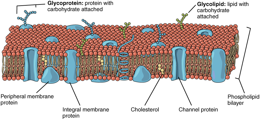 This image shows a lipid bilayer with different types of proteins, lipids and cholesterol embedded in it.