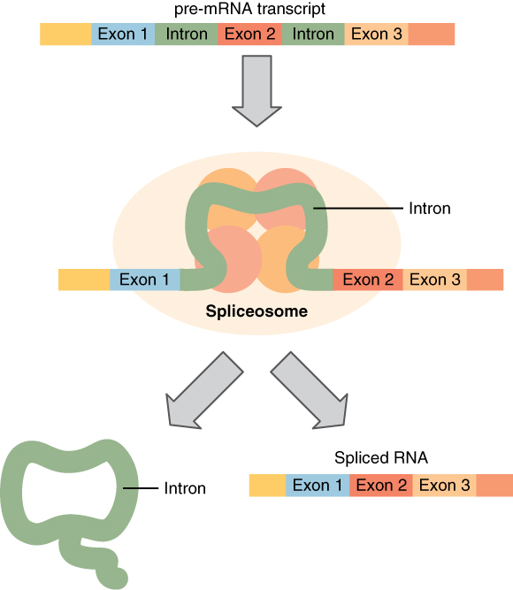 From rna to protein: translation By OpenStax (Page 3/28