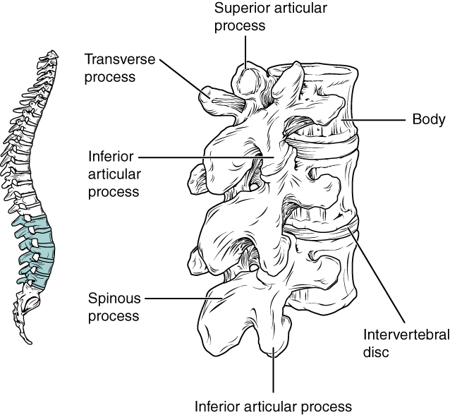 This image shows the location and structure of the lumbar vertebrae. The left panel shows the location of the lumbar vertebrae (highlighted in green) along the vertebral column. The right panel shows the inferior articular process and the major parts are labeled.