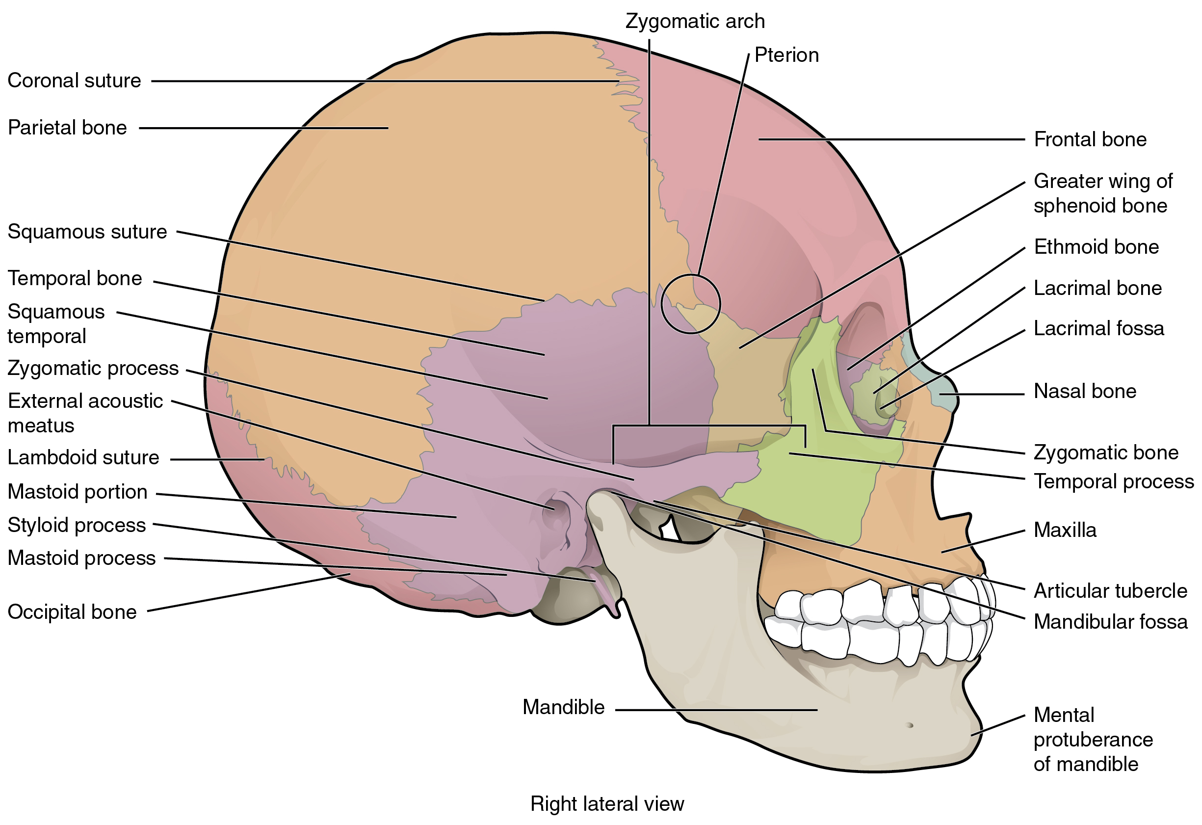 This image shows the lateral view of the human skull and identifies the major parts.