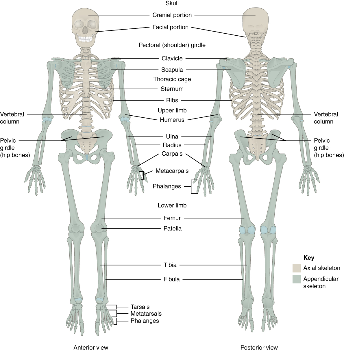 This figure shows the human skeleton. The left panel shows the anterior view, and the right panel shows the posterior view.