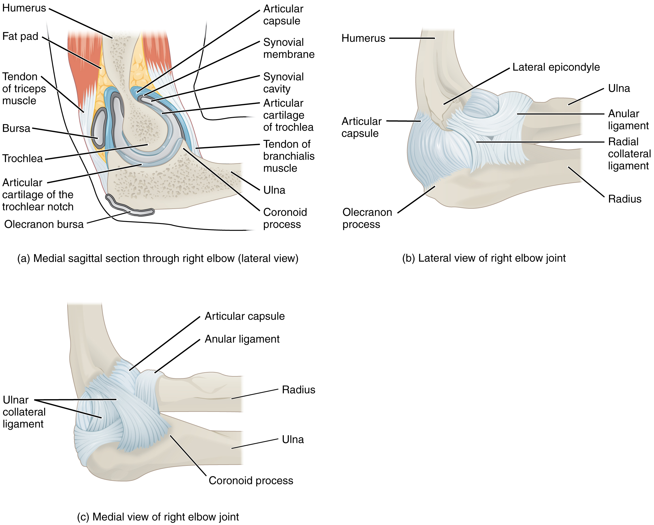 96 Anatomy Of Selected Synovial Joints By Openstax Page 558