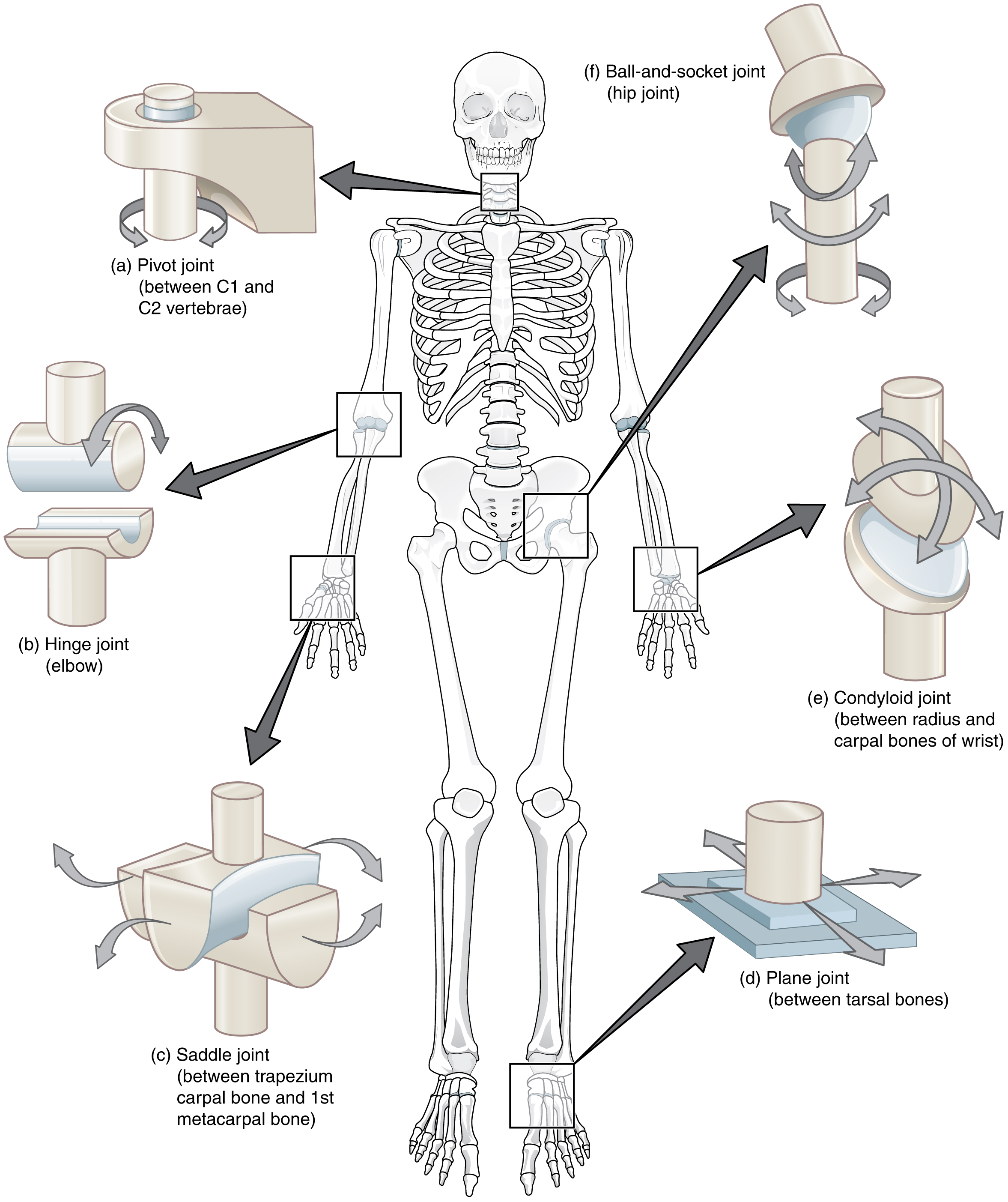 This composite image shows the different types of synovial joints in the body. In the center of the figure is a skeleton, and call outs from each joint show their names and locations.