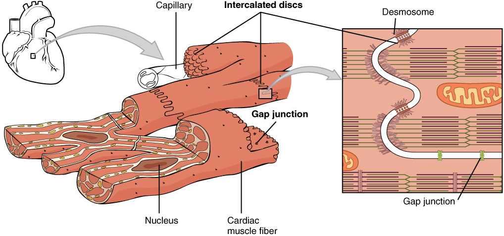 This image shows the structure of the cardiac muscle. A small image of the heart is shown on the top left of the figure and then a magnified view of the cardiac muscle is shown, with the nucleus and the cardiac muscle fiber labeled. A further magnification shows the structure of the intercalated discs with the desmosome and gap junction.