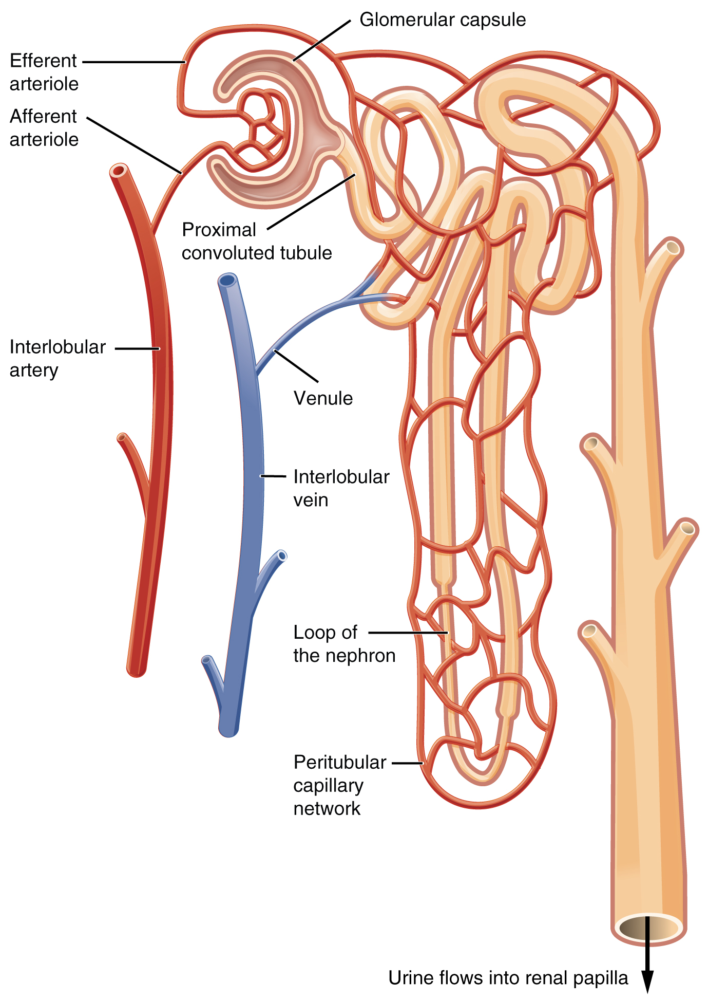 This image shows the blood vessels and the direction of blood flow in the nephron.