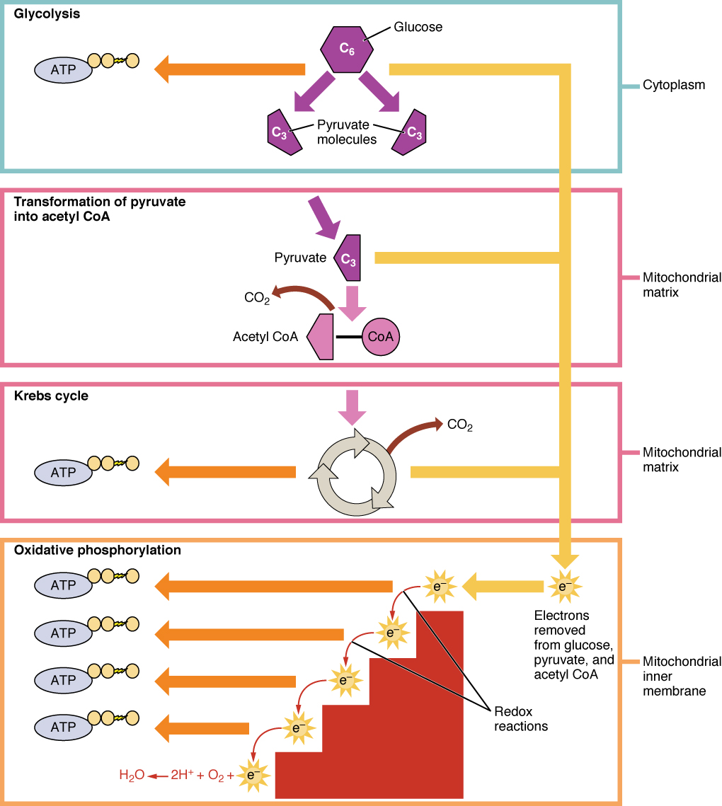 This figure shows the different pathways of cellular respiration. The pathways shown are glycolysis, the pyruvic acid cycle, the Krebs cycle, and oxidative phosphorylation.