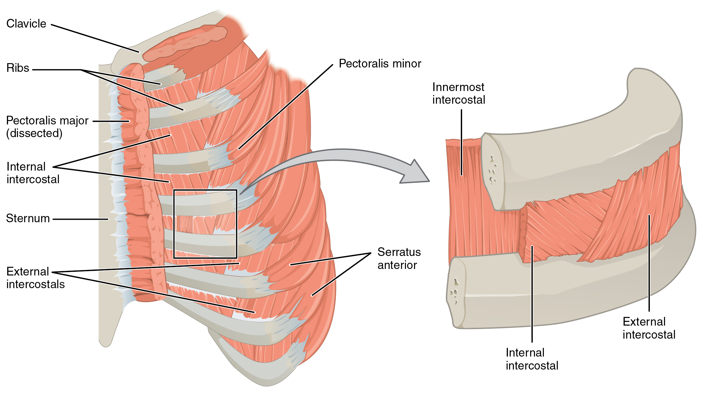 This figure shows the muscles in the thorax. The left panel shows the ribs, the major bones, and the muscles connecting them. The right panel shows a magnified view of the sternum and labels the muscles.