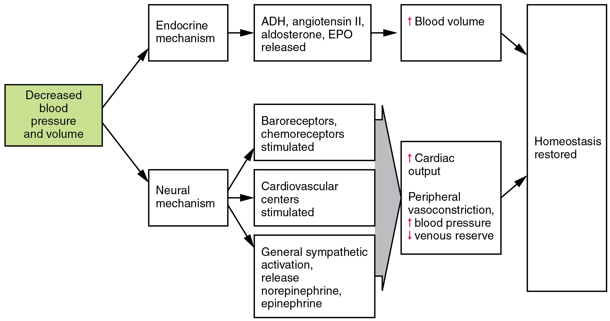 This flowchart shows the action of decreased blood pressure and volume in the neural and endocrine mechanisms.
