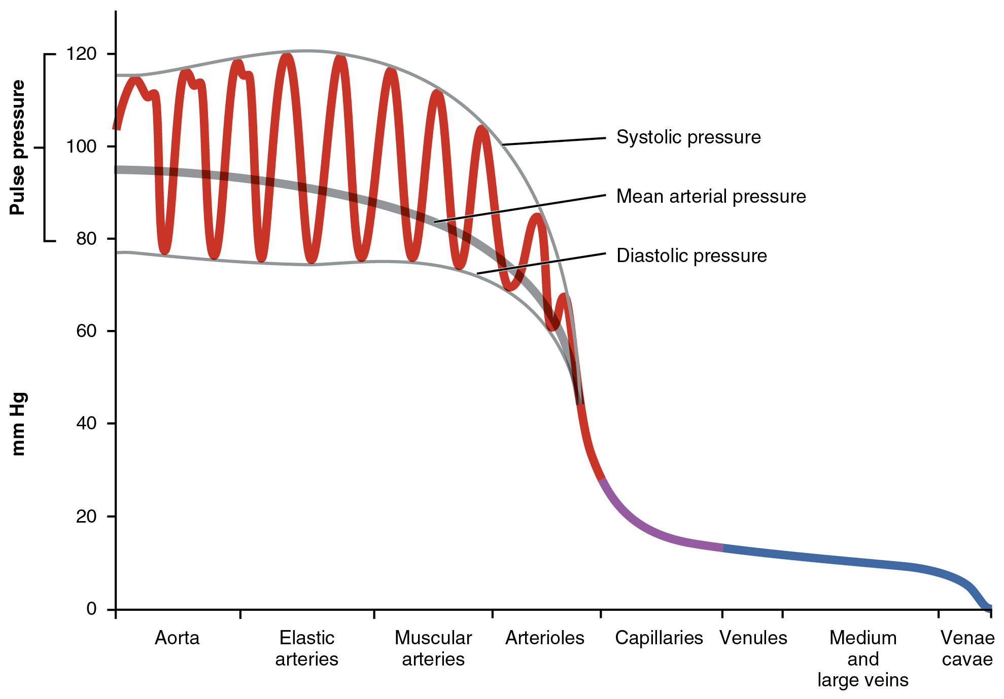 This graph shows the value of pulse pressure in different types of blood vessels.
