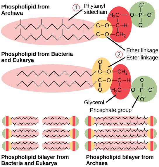 This illustration compares phospholipids from Bacteria and Eukarya to those from Archaea. In Bacteria and Eukarya, fatty acids are attached to glycerol by an ester linkage, while in Archaea, isoprene chains are linked to glycerol by an ether linkage. In the ester linkage, the first carbon in the fatty acid chain has an oxygen double-bonded to it, whereas in the ether linkage, it does not. In Archaea, the isoprene chains have methyl groups branching off from them, whereas such branches are absent in Bacteria and Eukarya.  Both types of phospholipids result in similar lipid bilayers.