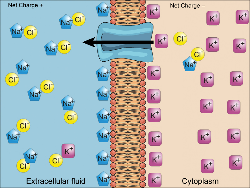 A cell membrane is shown with a protein channel that allows passage of ions into and out of the cell. The cytoplasm has a higher concentration of potassium, and the extracellular fluid has a higher concentration of sodium. An arrow shows movement of a potassium ion out of the cell through the protein channel.