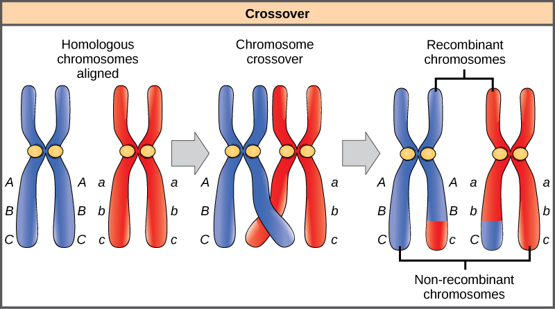 This illustration shows a pair of homologous chromosomes. One of the pair has the alleles ABC and the other has the alleles abc. During meiosis, crossover occurs between two of the chromosomes and genetic material is exchanged, resulting in one recombinant chromosome that has the alleles ABc and another that has the alleles abC. The other two chromosomes are non-recombinant and have the same arrangement of genes as before meiosis.