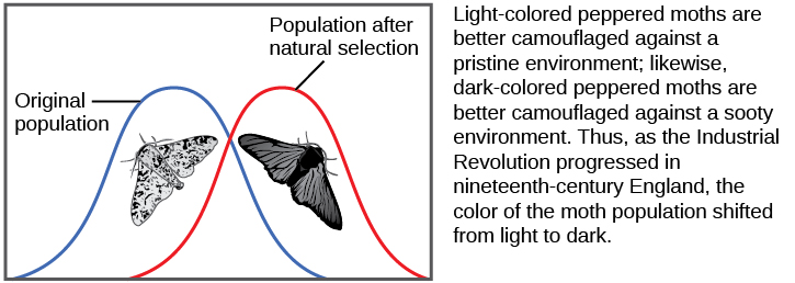 A graph shows two moths, one light and one dark in color. The population line shifts from the light phenotype on the left to the dark one on the right in response to a darker natural environment. The text next to the graph reads: Light-colored peppered moths are better camouflaged against a pristine environment; likewise, dark-colored peppered moths are better camouflaged against a sooty environment. Thus, as the Industrial Revolution progressed in nineteenth-century England, the color of the moth population shifted from light to dark.