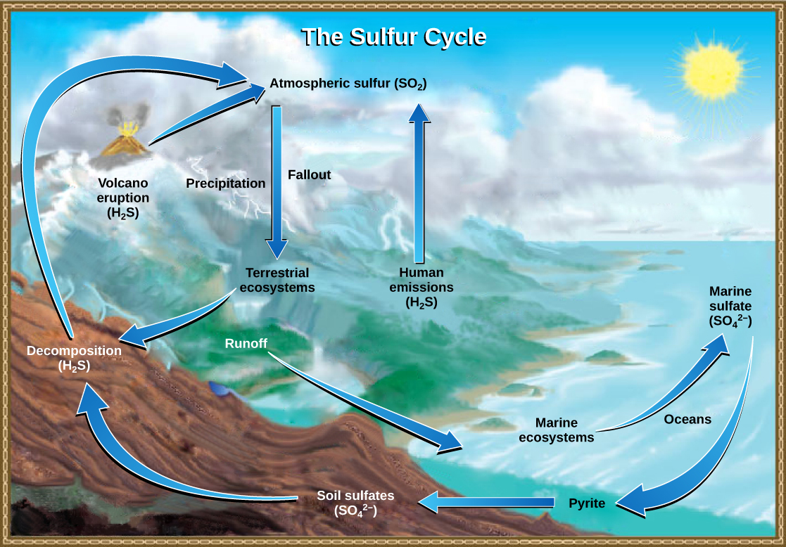 This illustration shows the sulfur cycle. Sulfur enters the atmosphere as sulfur dioxide (SO2) via human emissions, decomposition of H2S, and volcanic eruptions. Precipitation and fallout from the atmosphere return sulfur to the Earth, where it enters terrestrial ecosystems. Sulfur enters the oceans via runoff, where it becomes incorporated in marine ecosystems. Some marine sulfur becomes pyrite, which is trapped in sediment. If upwelling occurs, the pyrite enters the soil and is converted to soil sulfates.