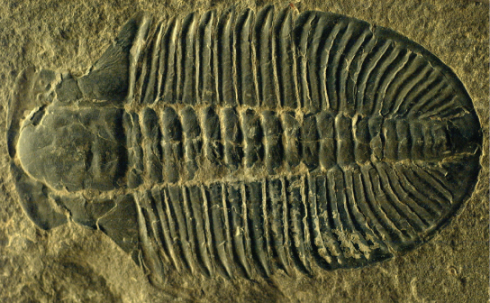 The fossilized trilobite resembles a footprint, with a rounded front end and ridges extending across the body.
