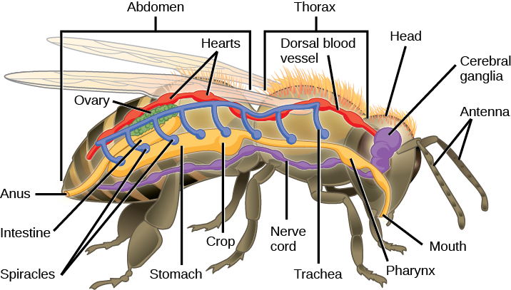 The illustration shows the anatomy of a bee. The digestive system consists of a mouth, pharynx, stomach, intestine, and anus. The respiratory system consists of spiracles, or openings, along the side of the bee's body that connect to tubes that run up and join a larger dorsal tube that connects all the spiracles together. The circulatory system consists of a dorsal blood vessel that has multiple hearts along its length. The nervous system consists of cerebral ganglia in the head that connect to a ventral nerve cord.