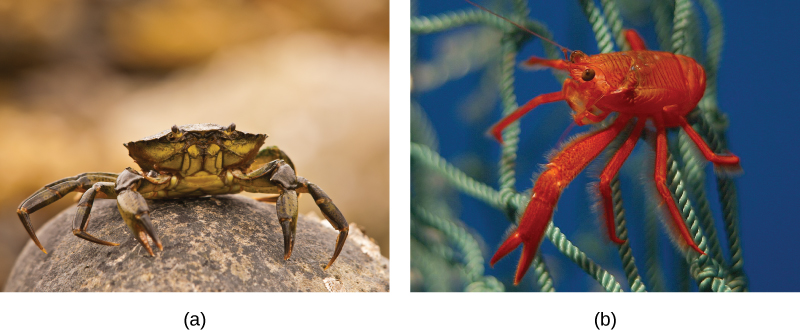 Photo a shows a crab on land, and photo b shows a bright red shrimp in the water.