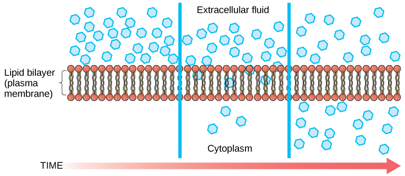 The left part of this illustration shows a substance on one side of a membrane only. The middle part shows that, after some time, some of the substance has diffused across the plasma membrane. The right part shows that, after more time, an equal amount of the substance is on each side of the membrane.