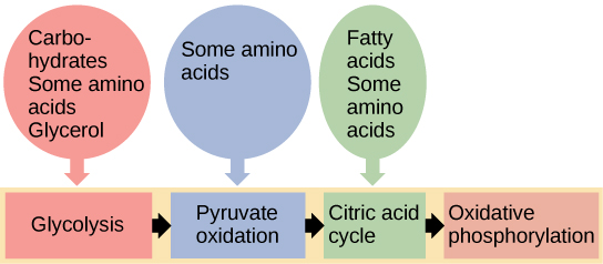 This illustration shows that glycogen, fats, and proteins can be catabolized via aerobic respiration. Glycogen is broken down into glucose, which feeds into glycolysis. Fats are broken down into glycerol, which is processed by glycolysis, and fatty acids, which are converted into acetyl CoA. Proteins are broken down into amino acids, which are processed at various stages of aerobic respiration, including glycolysis, acetyl CoA formation, and the citric acid cycle.