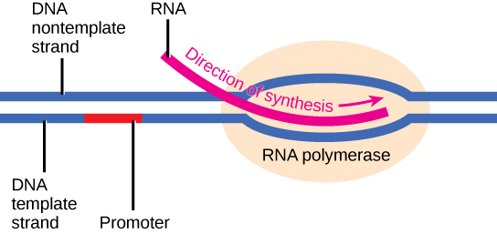 Illustration shows a template strand and nontemplate strand of DNA, with a promoter section in red on the template strand. Downstream of the promoter is an RNA polymerase where RNA is being synthesized.