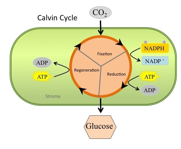 An overview of Calvin Cycle.