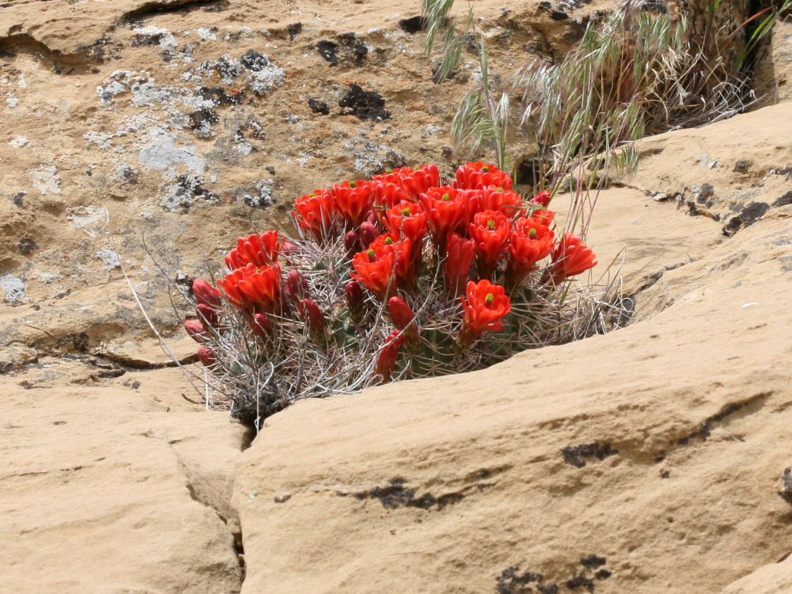This photo shows a blooming cactus growing in cracks in a rock.