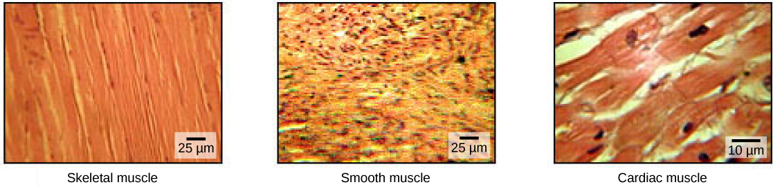 The skeletal muscle cells are long and arranged in parallel bands that give the appearance of striations. Each cell has a multiple nuclei. Smooth muscle cells have no striations and only one nuclei per cell. Cardiac muscles are striated but have only one nucleus.